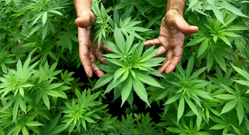 Industrial hemp plant image